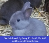 Rabbit Baby Netherland Dwarfs For Sale Sydney