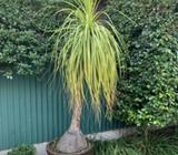 Ponytail Palm (Price Reduced)