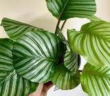 BIG BEAUTIFUL CALATHEA 'ORBIFOLIA' - 175mm - $35