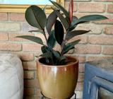 BEAUTIFUL 'BURGUNDY FICUS' - 'Rubber Tree' - $40