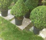 Manicured/shaped english boxes
