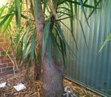 Yukka palm