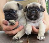 Adorable Pug puppies male and female