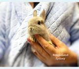 Baby Netherland Dwarf Bunny Rabbits For Sale Sydney