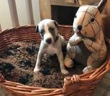Pure Quality Kc Reg Whippet Puppies