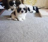 Stunning Cavachons Puppies