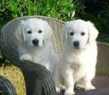 Calm Golden Retriever puppies available and ready