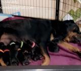12 BEAUTIFUL ROTTWEILER PUPPIES