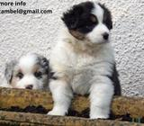 YOUNG MALE AND FEMALE AUSTRALIAN SHEPARD PUPPIES