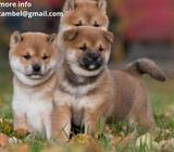 SHIBA INU PUPPIES FOR A NEW HOME