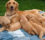 Fantastic Golden Retriever Puppies For Sale